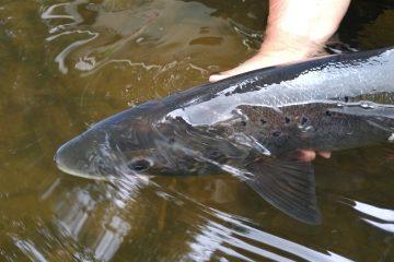 saumon-dordogne-pêche-magique